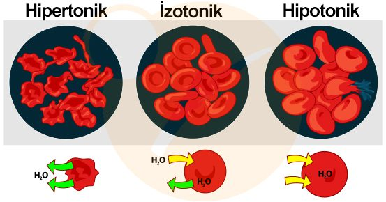 Osmotic pressure on blood cells tr Hipertonik Ortam Nedir?